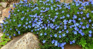 Kamejka -modrý doplněk zahrady